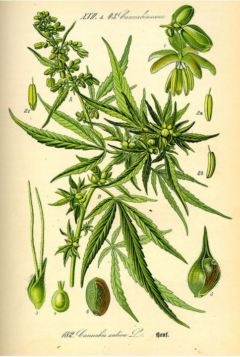 Cannabis: La planta que encendió el motor de la civilización en Irán y Afganistán 9