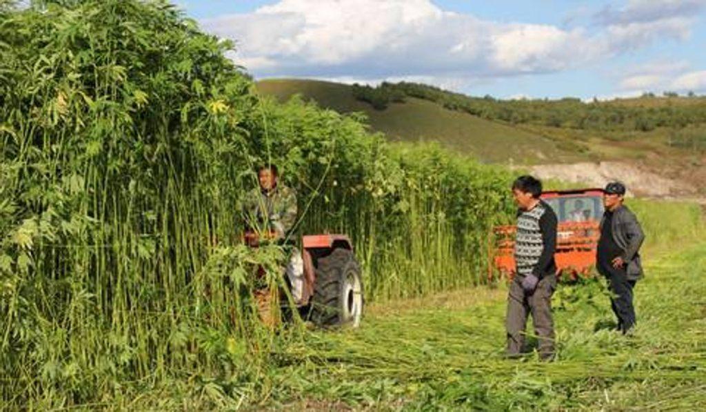 Campesinos recolectando cannabis en China